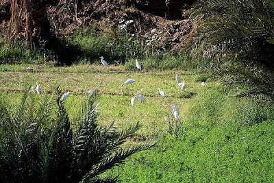 Garcilla bueyera (Bubulcus ibis)