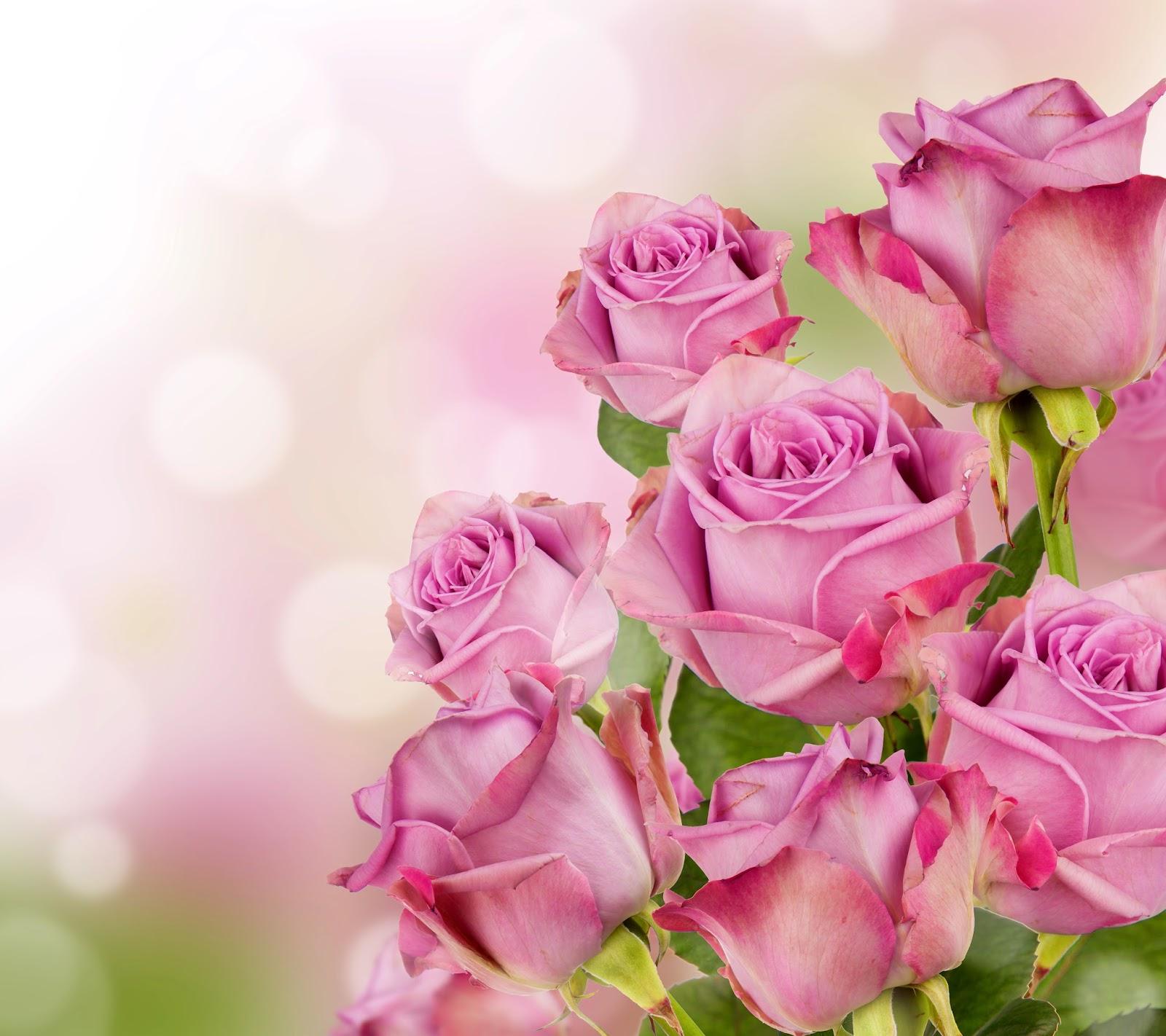 Rose flowers beautiful pink roses nature beauty izmirmasajfo