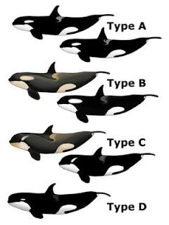 Mengenal 4 Jenis Orca atau Paus Pembunuh