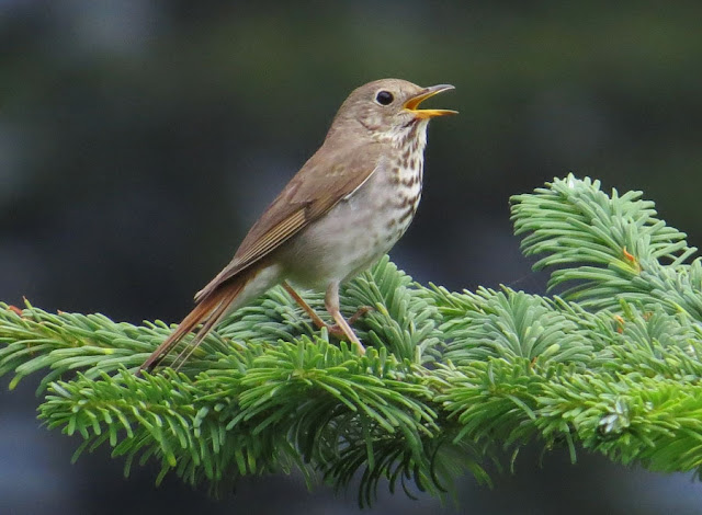 Song diversity hints at thrushes' evolutionary past