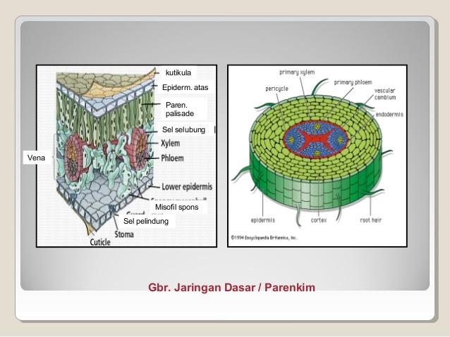 Jaringan Penyusun Organ Tumbuhan Akar Dan Fungsinya Lengkap Pelajaran Biologi Sekolah