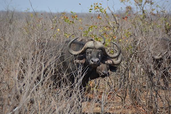 Gewaltige Hörner schmücken den Kopf von Büffeln