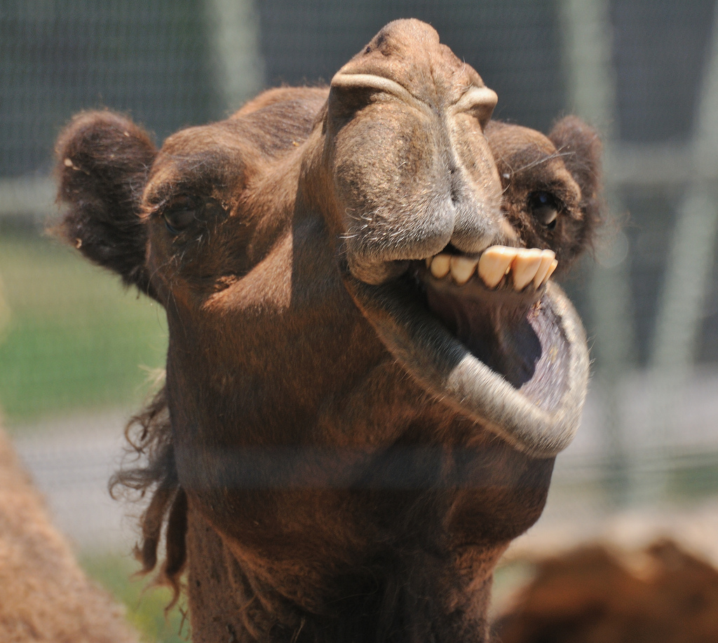 Andi Carter's Blog: Camels in the Old West