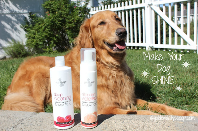 make your golden retriever shine with isle of dogs shampoo and waterless shampoo