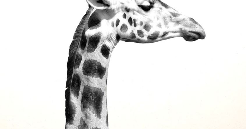 black and white giraffe pictures | wallpapers library