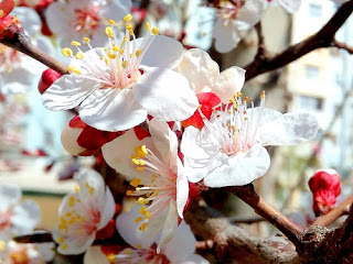 three apricot blossoms photography