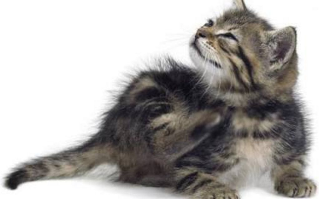 Penyebab Mengatasi Dan Menghilangkan Ketombe Pada Kucing Kucing Forever