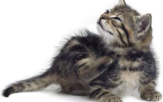 kucing berketombe