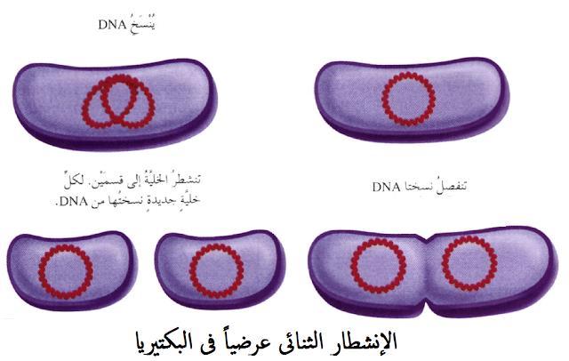 الإنشطار الثنائى فى البكتيريا