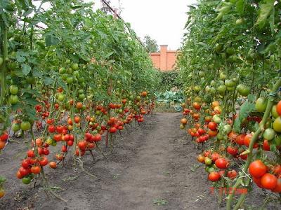 помидоры,выращивание помидор