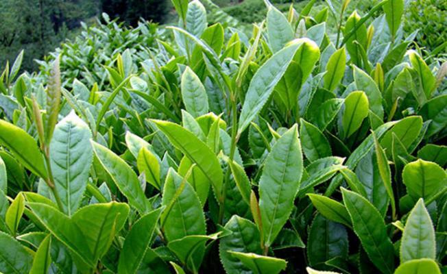 Türk çayı üretimde en yüksek rakamlara ulaştı