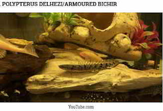 Polypterus delhezi (Armoured Bichir)