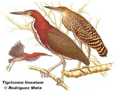 aves argentinas Hocó colorado Tigrisoma lineatum