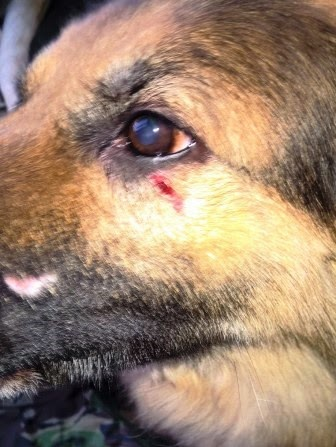 German Shepherd has mystery wound