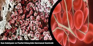 Fosfat Düzeyinin Hormonal Kontrolü
