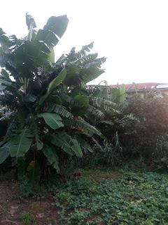 plantain propagation