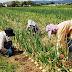 Tuyển gấp 10 nữ trồng hành trong nhà kính