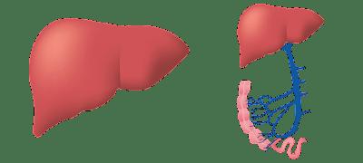 karaciğer sağlığı