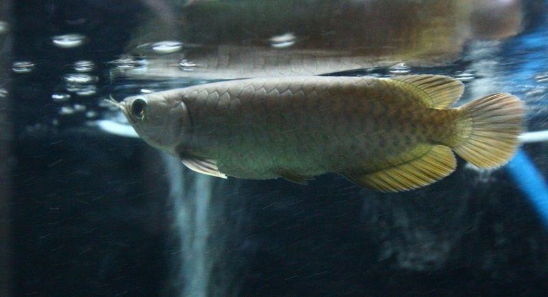 Gambar Ikan Arwana Red Banjar