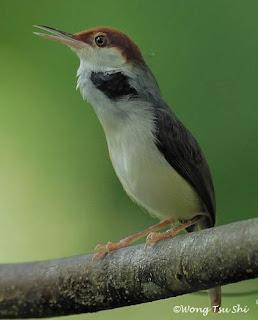 Burung Ciblek - Mengenal Burung Ciblek Kalung yang Lebih Unggul Daripada Burung Ciblek Lain - Penangkaran Burung Ciblek