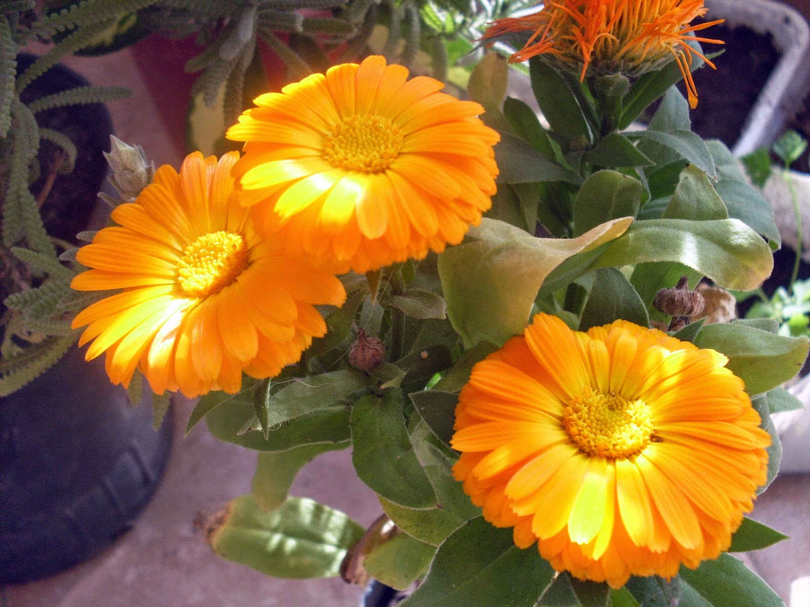 Shaman repelentes naturales plantas arom ticas - Plantas ahuyenta insectos ...