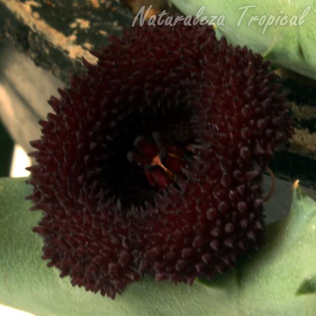 Otra imagen de la flor característica de la planta suculenta Huernia x pendurata
