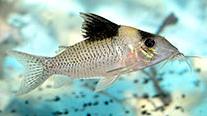 Jenis Ikan Corydoras amandajanea