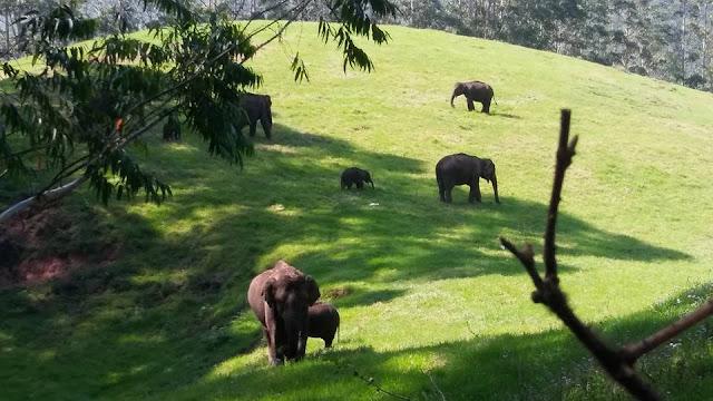 elephant kerala vie sauvage