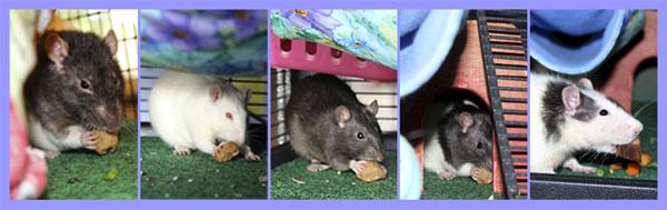 Ratropolis: Homemade Rat Treats