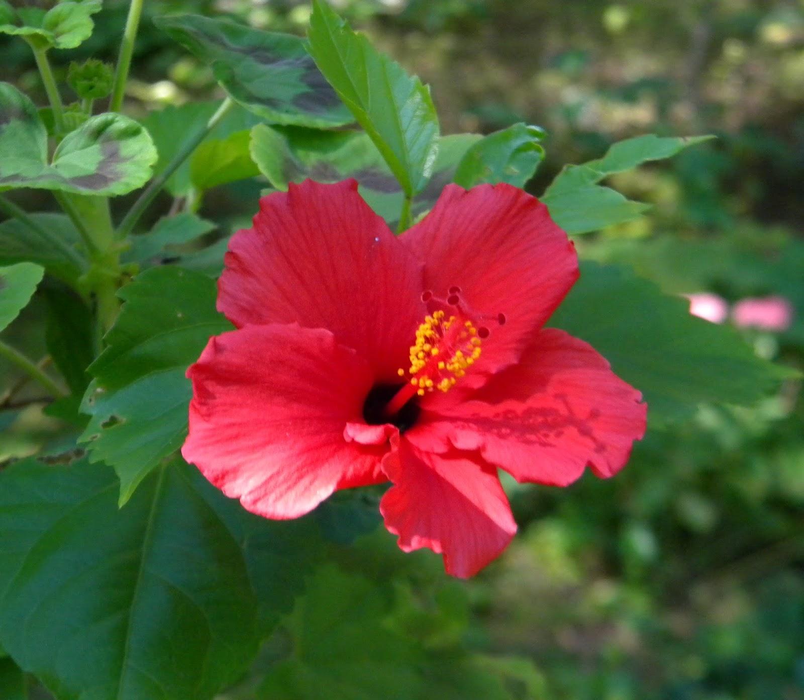 The Northern New York Gardener Hibiscus Mushrooms Weeds