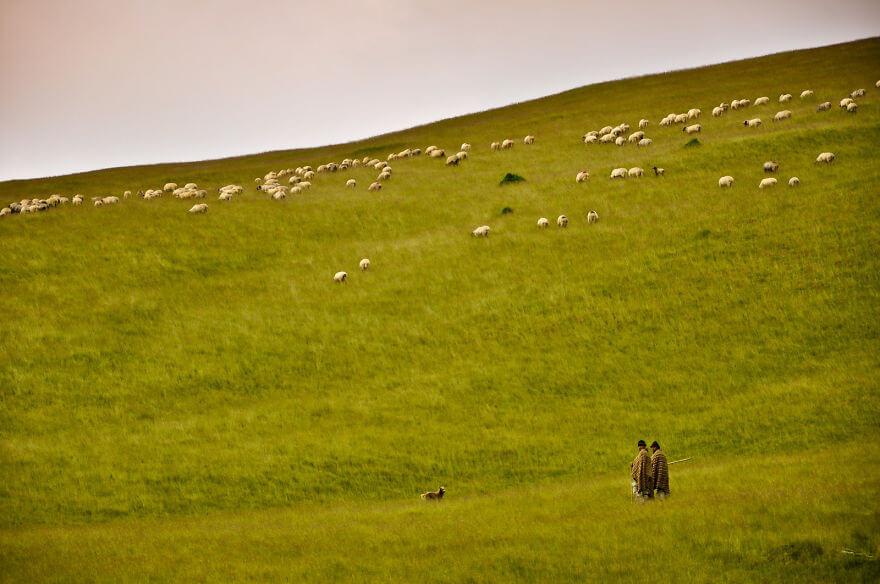 Transilvanya ovalarında koyun otlatan çobanlar