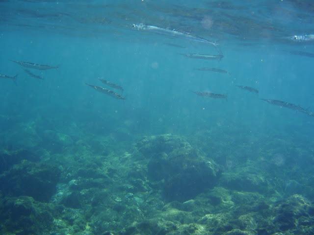 Hornhecht © Canarian Sea 05