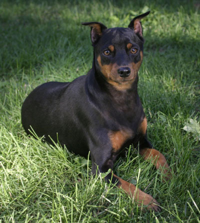 How to Care Miniature Pinscher Dog