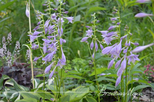 kwiaty funkii