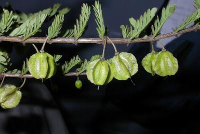 Bulnesia bonariensis
