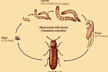 Semua Hal Tentang Ulat Hongkong (Mealworms)