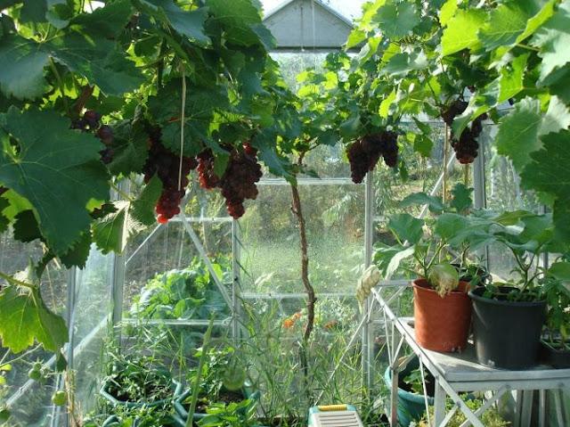 Membuat Green House Untuk Anggur
