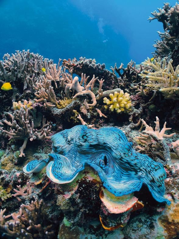The famous giant clam, the world's largest species of mollusk