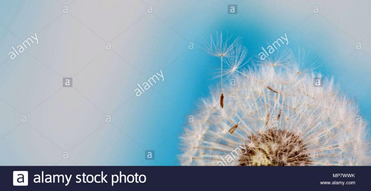 Dandelion Flying Seeds Hd Wallpaper Dom Wallpapers