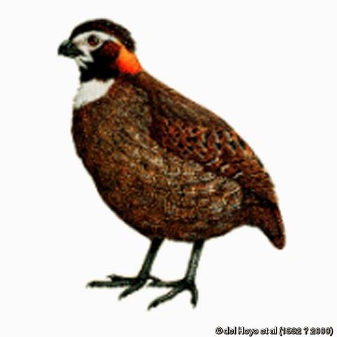 Tacarcuna Wood-quail