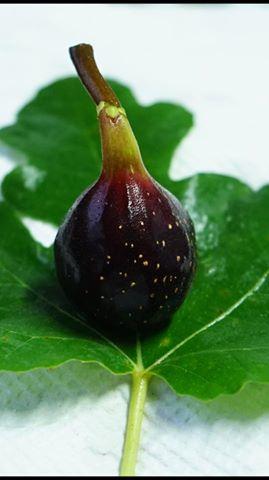 JUOALLE NOIRE Fig
