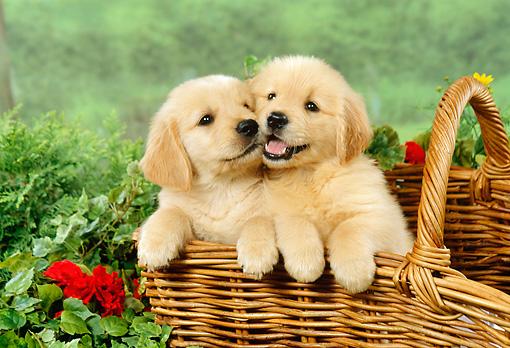 Golden Retriever Puppy Breeders Sale Ohio: Buy Golden