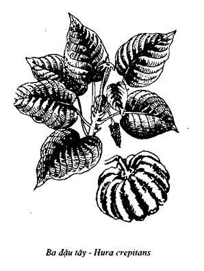 Hình vẽ Ba Đậu Tây - Hura crepitans - Nguyên liệu làm thuốc Nhuận Tràng và Tẩy