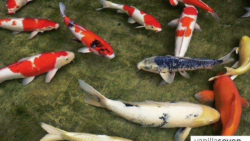 Daftar Harga Ikan Koi Termurah Sampai Termahal Terlengkap Sekarang Ini