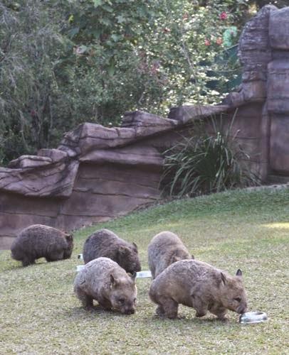 5 cute wombats.