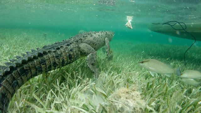 Crocodile attacks chicken