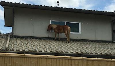 Kuda poni ada di atas atap rumah.