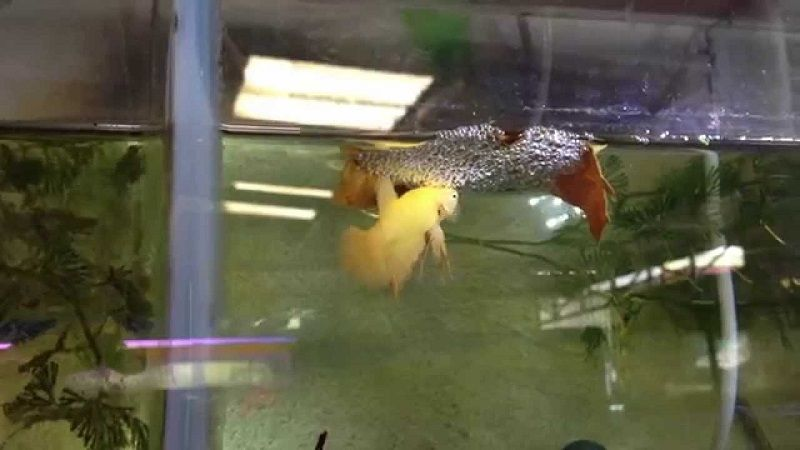 Betta Fish Breeding Tank