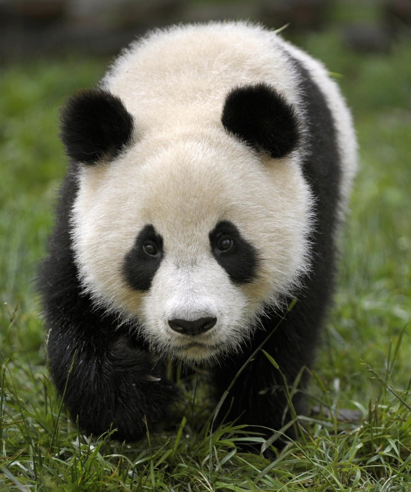 Panda Lovely Sweet Wild Animal Fact Pictures