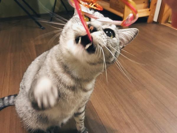ワイヤーでできたリボンの飾りに噛み付くサバトラ猫